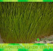 Как прорастить пшеницу в домашних условиях для зелени?