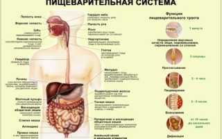 У человека белки перевариваются ферментами которые секретируются