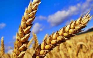 Рожь овес пшеница ячмень как отличить