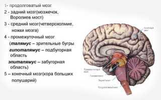 Головной мозг человека состоит из нескольких отделов продолжением